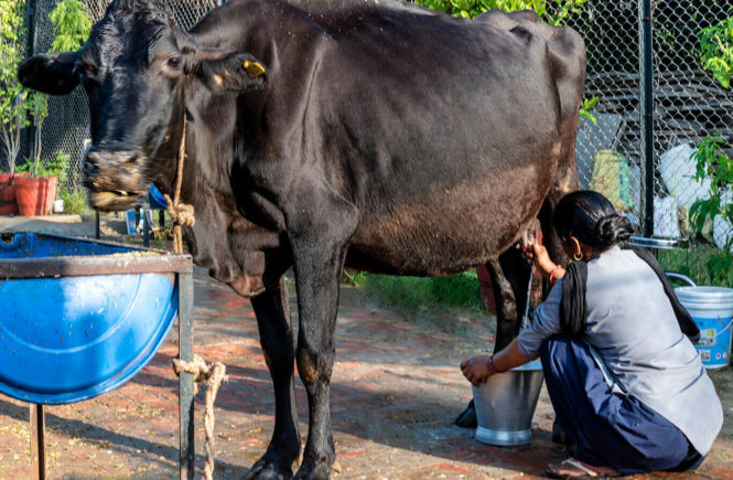 Cow milking an ultimate experience in jim corbett